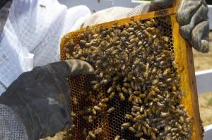 San Diego Beekeeping and Raw Honey
