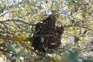 Bee Swarm San Diego
