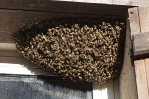 Bee Removal San Marcos Beekeeper